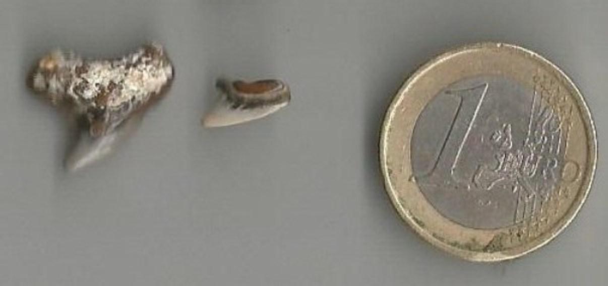 dents de Galeocerdo aduncus Agassiz verso